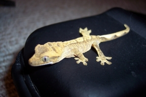gecko12june19a