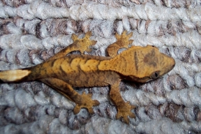 gecko13june19cc